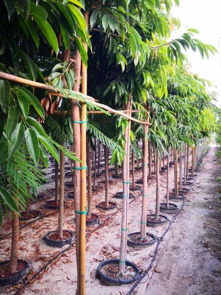 Ficus-amistelking-FIC-S-06009-P36