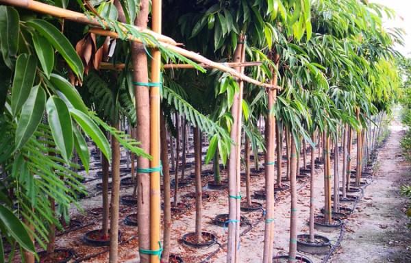 Ficus amistelking