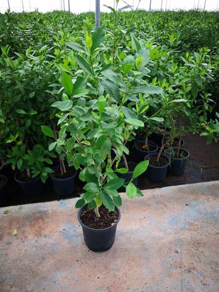 Gardenia GAR S 01005 P17 600x600 - Gardenya