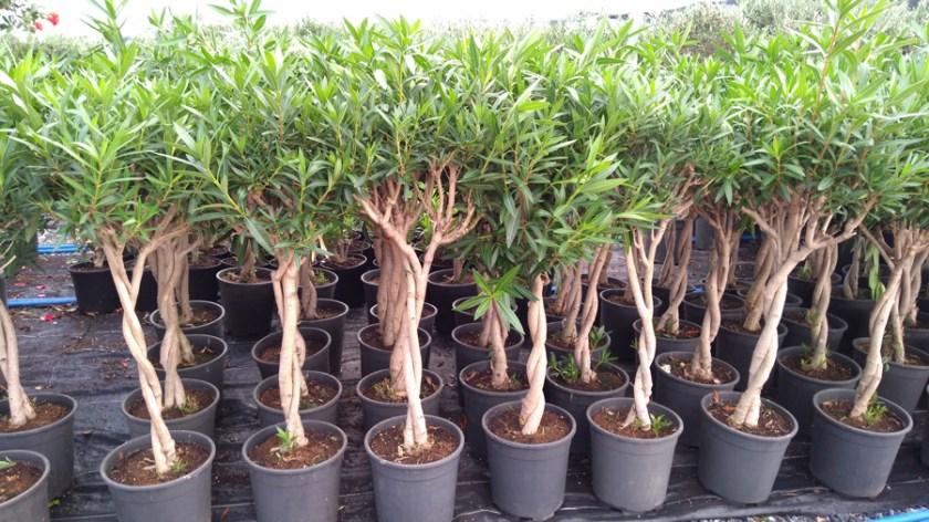 Nerium oleander ZAK P 06002 P26 - دفلة