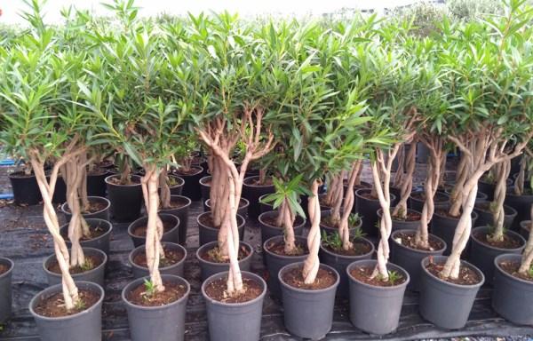 Nerium oleander ZAK P 06002 P26 - زعرور قزمي