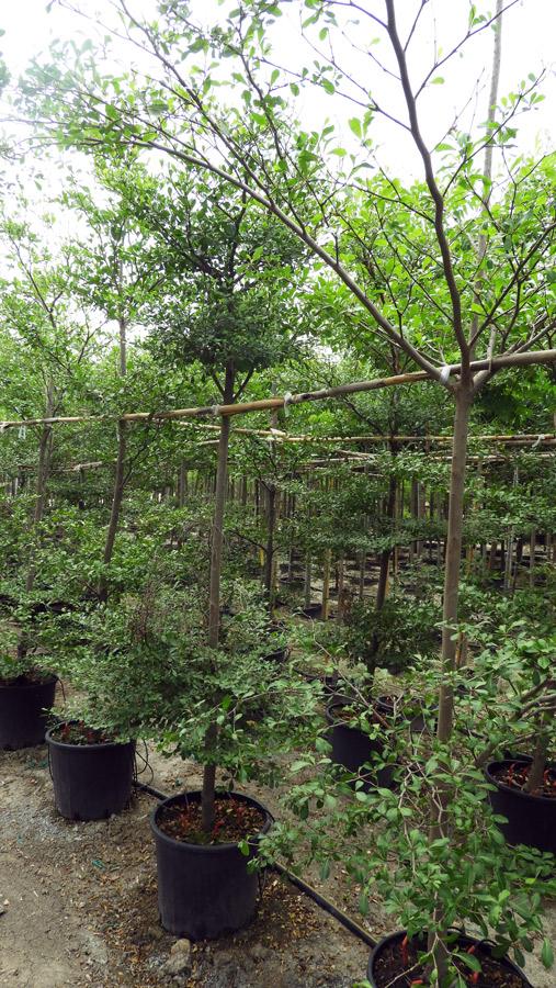 Terminalia mantaly CMB S 06001 P36 1 - Çin Madağaşkar Badem Ağacı