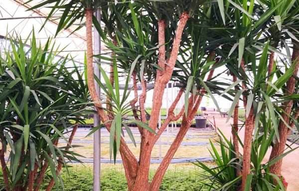 Yuk s01001 - Chlorophytum comosum
