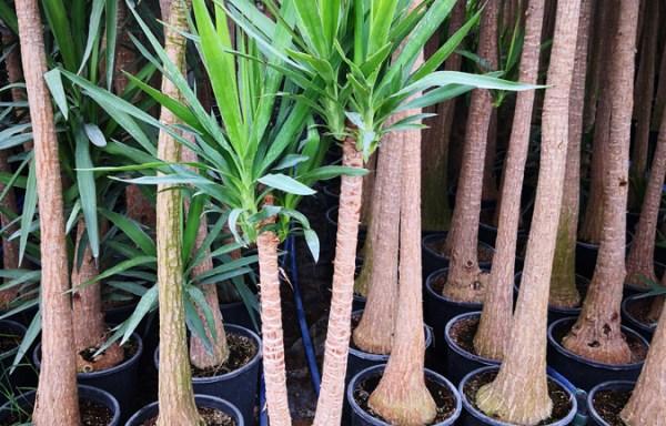 Yuk s01005 - Euphorbia milii