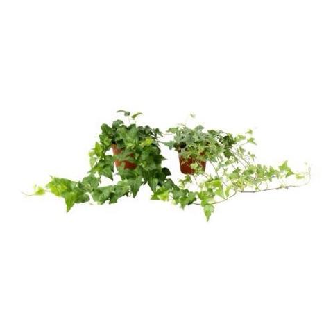 鉢植え (へデラ)