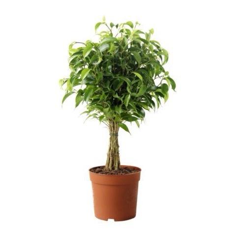 鉢植え (ベンジャミナ)