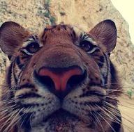 селфи тигра
