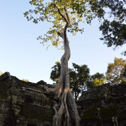 A tree on top of a temple structure at the Ta Prohm Temple complex