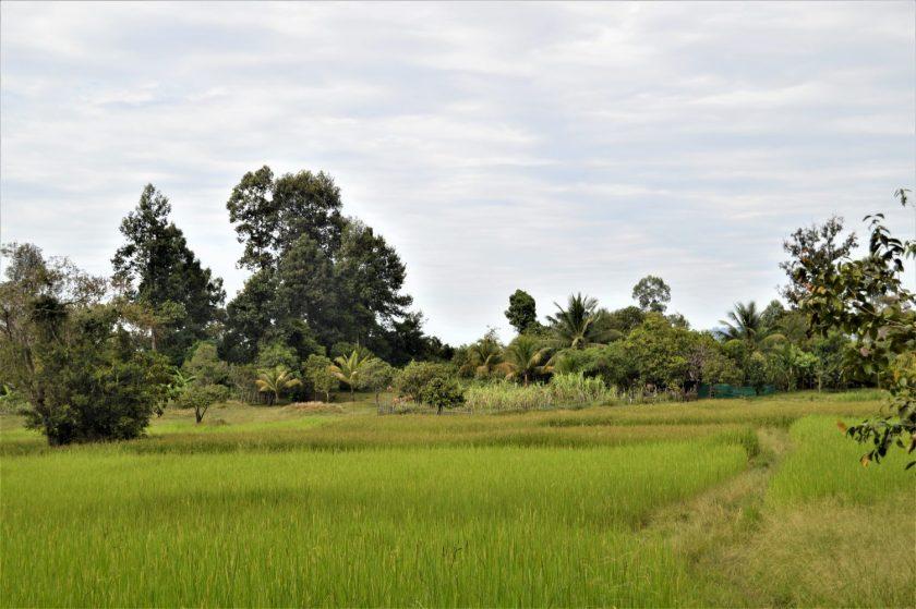 A rice field in rural Cambodia