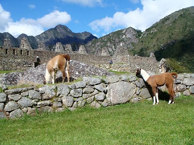 Alpacas in Machu Picchu, Peru