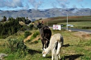 Llamas grazing near Urubamba valley