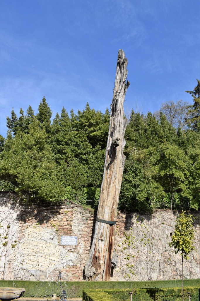 Cypress tree of Abencerrajes Legend fame standing in the Patio de la Sultana of the Generalife Palace in Granada, Spain