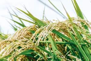 《米の生産量》都道府県別ランキング【2018年度版】
