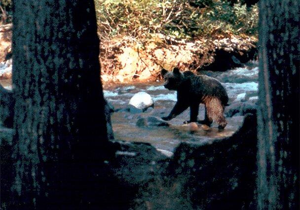 Медведь, напуганный безумными фотографами. Байкал