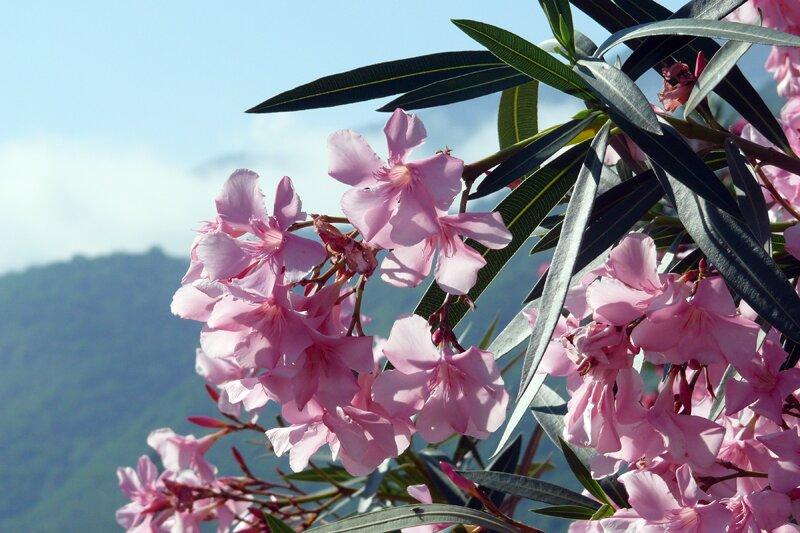 Олеандр в цвету. Абхазия, май