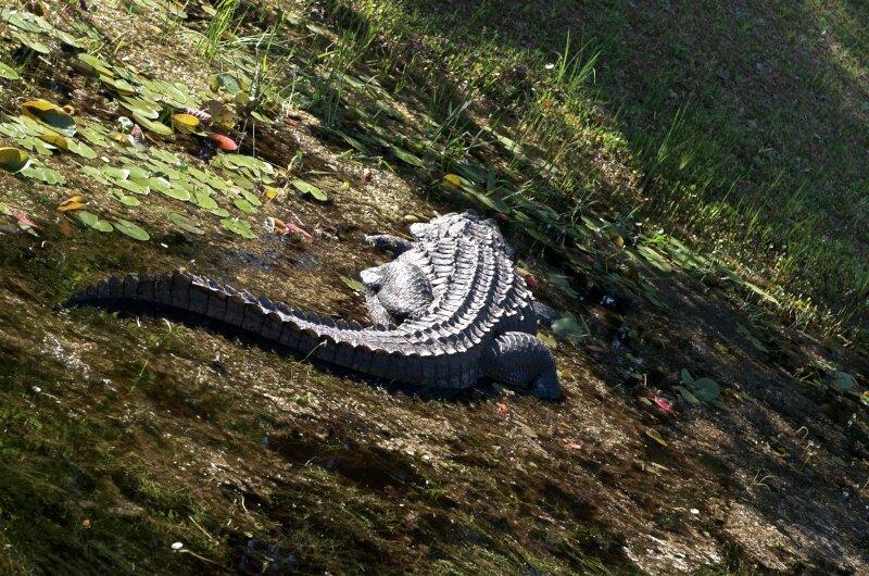 Аллигатор в своей родной среде обитания
