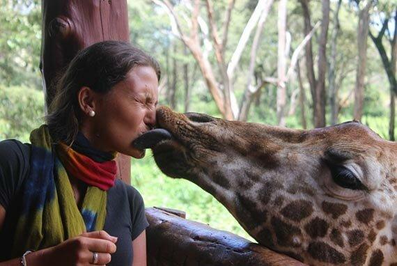 Поцелуй с жирафой. Найроби. Кения.