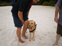 Lenny trialing a water harness with Adam at Hyams Beach