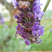 Lavender and juicy drops