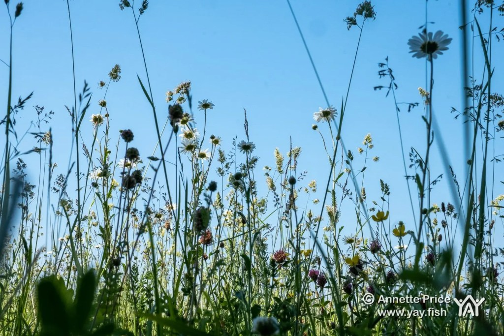 Wildflowers and grasses, Up Nately, Hampshire, UK.