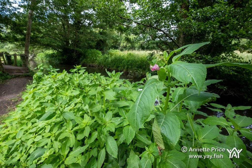 Himalayan balsam, Hazeley, Hampshire. UK.