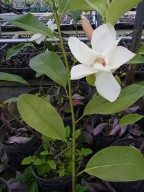 ミヤマガンショウ(Michelia maudiae)