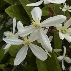 クレマチス・アーマンディー(Clematis armandii)