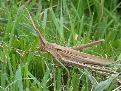 ショウリョウバッタ(♀)褐色型