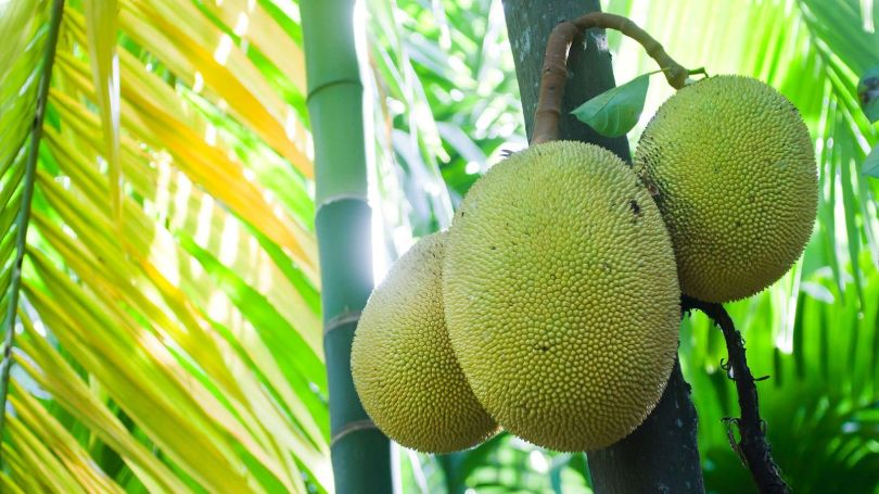 Jackfruit is the world's largest tree-borne fruit and mature trees produce 200 fruits each year (Credit: Credit: Utopia_88/Getty Images)