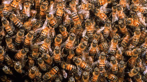 Διαφορετικές μέλισσες κάνουν διαφορετικές δουλειές στην αποικία (Credit: Pete Oxford / naturepl.com)