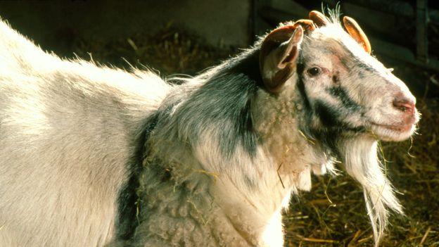 A mixture between a goat and a sheep: a 'geep' (Credit: Geoff Tompkinson/SPL)