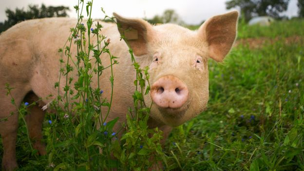 Some scientists are trying to grow human organs inside pigs