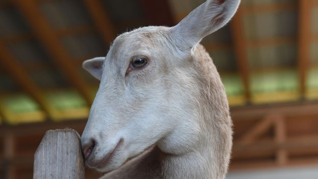 Goat and sheep hybrids are very rare (Credit: Photos 12/Alamy)