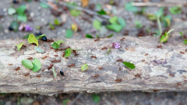 The leafcutter ants live in vast underground tunnels that would extend for miles if laid straight (Credit: Credit: patrickheagney/Getty Images)