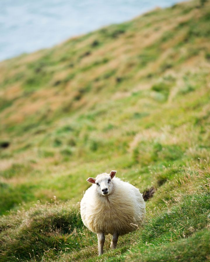 Sheep roam Iceland's island of Heimaey (Credit: Robert Harding/Alamy)