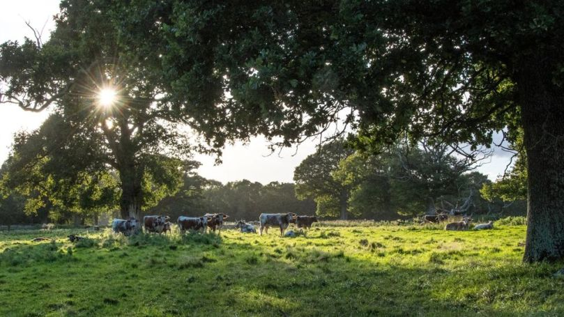 Longhorn cattle graze among mature trees at Knepp Castle Estate, which aims to keep the woodland and grazers in balance (Credit: Knepp Wildland)