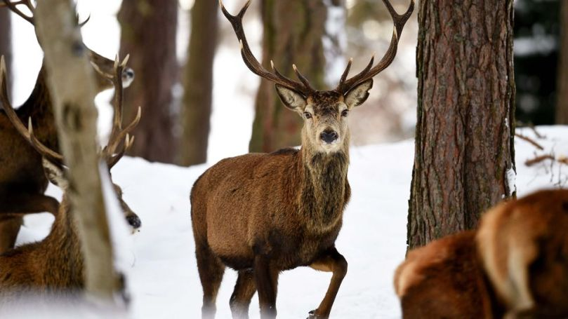 In the Scottish Highlands, deer are often thought of as being in competition with forests – but with some management the two can live alongside one another (Credit: Getty Images)