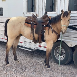 3yr old Gelding Guys Canyon Moon/Tres Seis