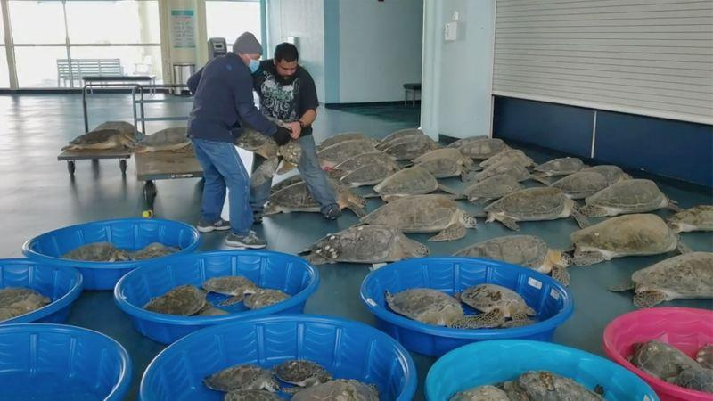 Unable to stand the cold wave, 4,700 turtles in Texas, USA were frozen stiff.