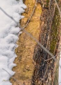 2015-2-22_FFSP_tree-snow-toothmarks-closeviedw-vert