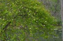Apr-30_flowering-shrub-1