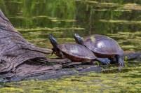 Apr-30_turtle-pair-1