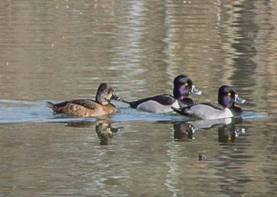 Ring-necked Duck (f, m)