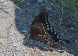 Spicebush Swallowtail (Butterfly)