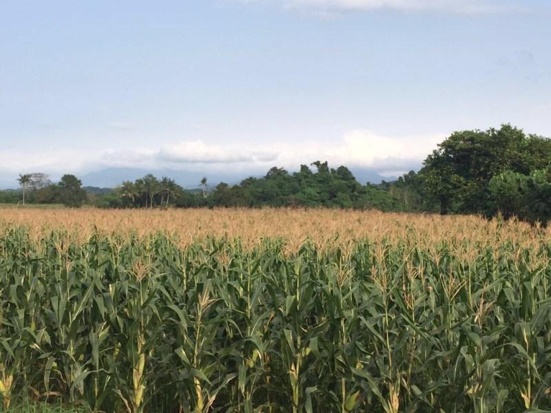 Yehey.com.Corn.Mais.by.SarahEmiliana