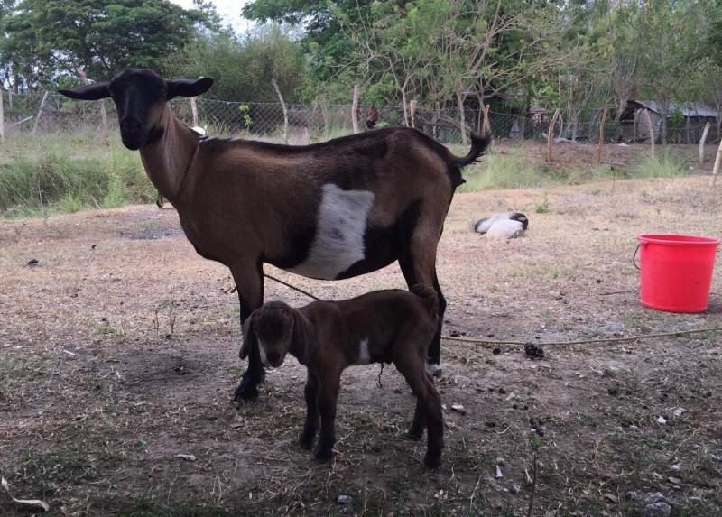 Yehey's Farm - Goats