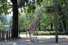 Žirafe 1 gab