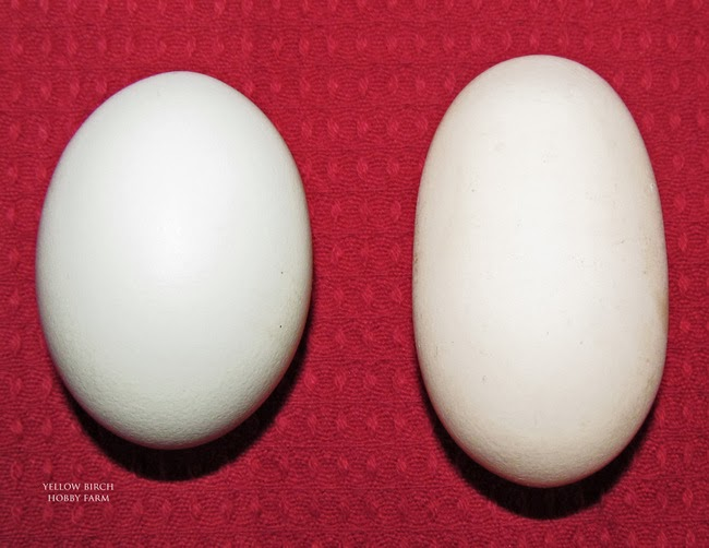 Weird eggs 101 the oddities explained left standard egg right symmetrical oblong egg urmus Gallery