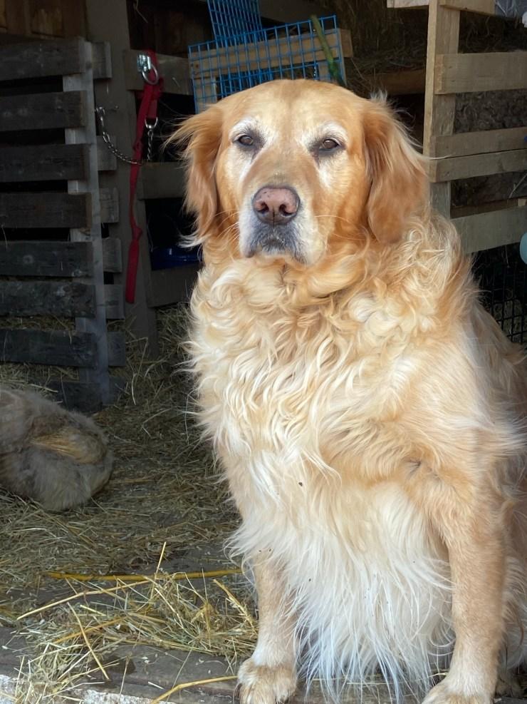 Golden Retriever (Daisy)