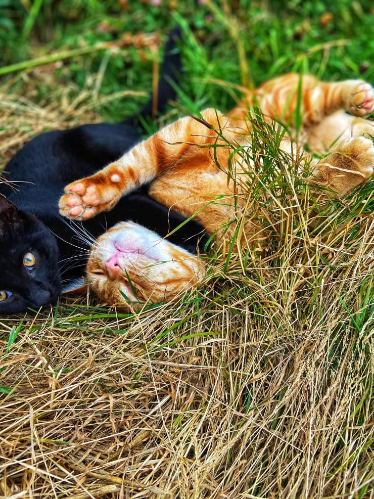 Cats playing the in the grass